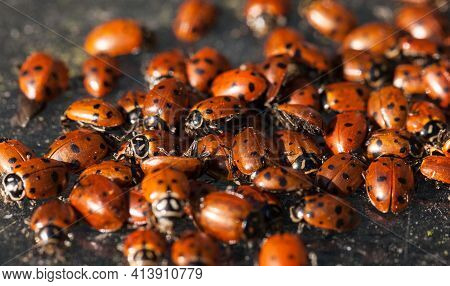 Hibernating Cluster Of Convergent Lady Beetle Also Called The Ladybug Hippodamia Convergens