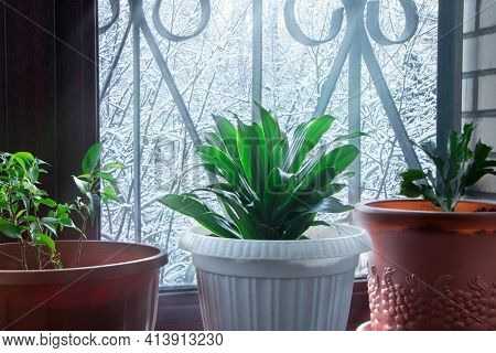 Home Plant. Aspidistra And Ficus. A Plant In White Pot On A Windowsill Winter. Nature. Winter Mornin