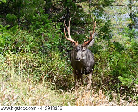 Trophy Mule Deer Buck, 10 Point, In Natural Outdoor Setting. Wildlife Scene Of Majestic Mature Buck