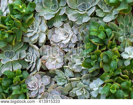 A Garden Full Of Green Leafy Succulents Lined Up Close Together In Nature With Varying Shades Of Gre