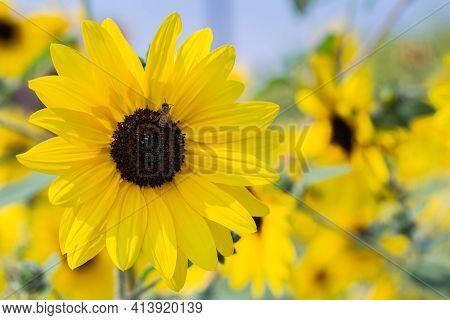 Yellow Sunflower. Natural Sunflower Background. Beautiful Sunflower. Landscape With Sunflowers. Sunf
