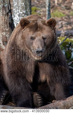 Brown Bear In The Forest Up Close. Wild Animal In The Natural Habitat