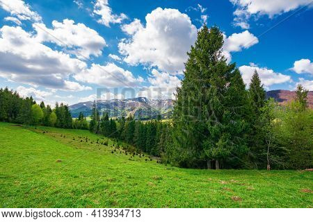 Spruce Trees On The Grassy Meadow. Wonderful Rural Landscape In Spring. Snow Capped Mountains In The