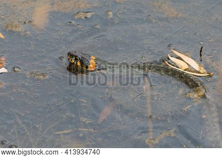 The Grass Snake Or Natrix Natrix, Sometimes Called The Ringed Snake Or Water Snake Is A European Non