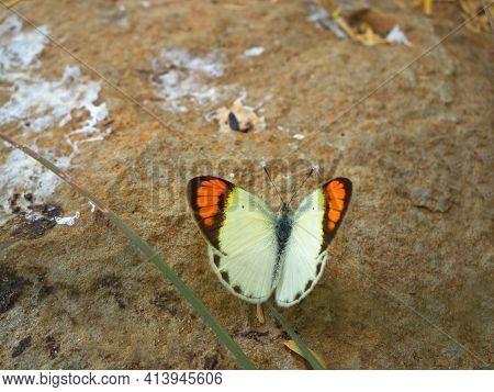 Orange Tips, Colotis Danae, Satara, Maharashtra, India