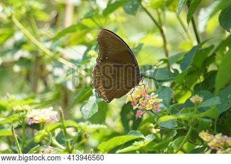 Crow Eggfly, Hypolimnas Anomala, Satara, Maharashtra, India