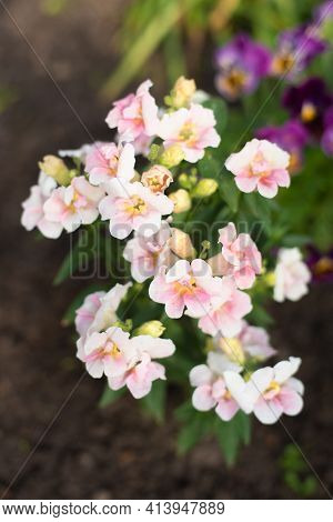 Soft Pink Beautiful Flowers Of Antirrhinum Or Snapdragon Terry In The Garden.