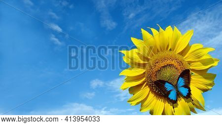 Blooming Sunflower On A Background Of Blue Sky. Beautiful Blue Butterfly On A Flower. Butterfly Ulys