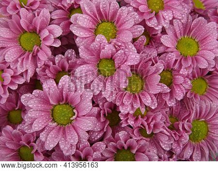 Close Up Background Pattern Of Fresh Pink Chrysanthemum Or Marguerite Flowers With Water Drops After