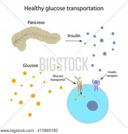 Healthy Glucose Transportation. Pancreas, Insulin Receptor, Glucose Transporter, Cell.