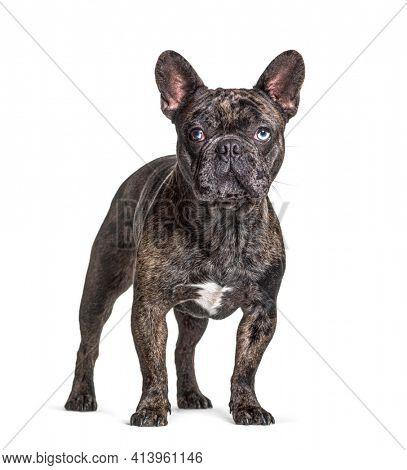 Brindle French bulldog blue eyed, odd-eyed, standing, isolated on white