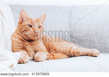 Ginger Cat Is Laying On Sofa, Calm And Happy, Perfect Pet Companion