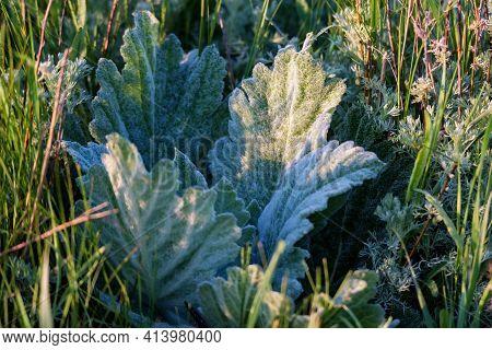 Close Up Of Salvia Aethiopis Or Mediterranean Sage Or African Sage