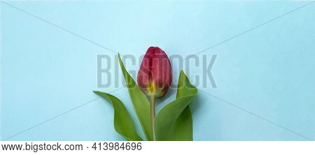 Tulip On A Blue Background. Blue Banner With A Tulip.