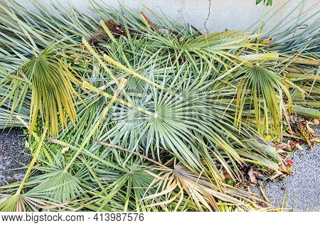 Palm Branches Leaves Cut By The Gardener Lie On The Ground. The Result Of The Gardener's Work On The