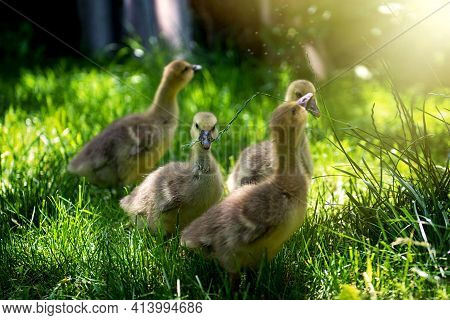 A Few Cute And Small Baby Geese Graze On Pasture With Green Grass On A Sunny Day. Four Cute Little B