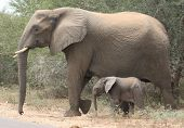 Mother and child elephant walking in the Kruger National Park South Africa poster