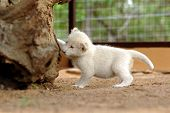 very rare white lion ** note: slight blurriness, best at smaller sizes poster