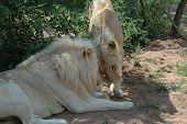 white lion and lioness poster