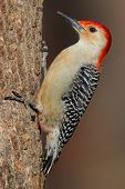 Female Red-bellied Woodpecker (Melanerpes carolinus) on a log poster