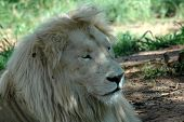 the very rare white lion ** Note: Slight blurriness, best at smaller sizes poster