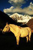 Peruvian horse in Cordiliera Huayhuash, Peru, South America poster