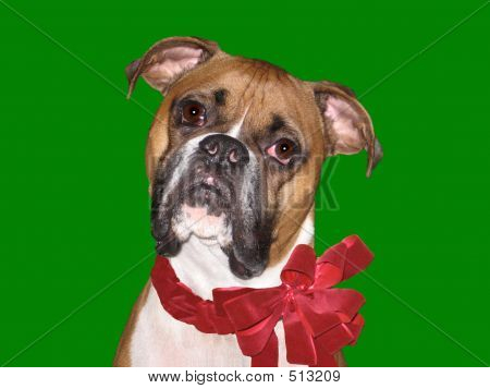 Holiday Boxer Grn