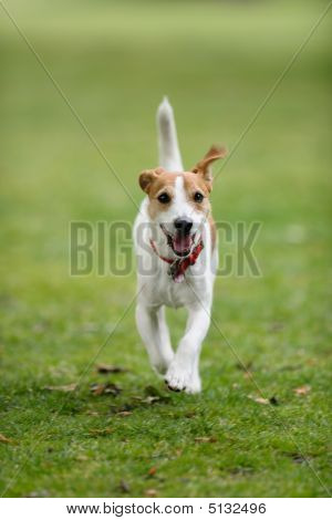 Dog Running Towards Camera