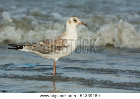 A Slender-Billed Gull standing in shallow surf poster