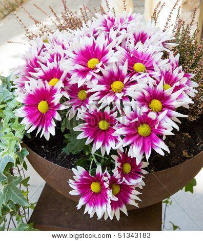 Pink Chrysanthemums In A Pot