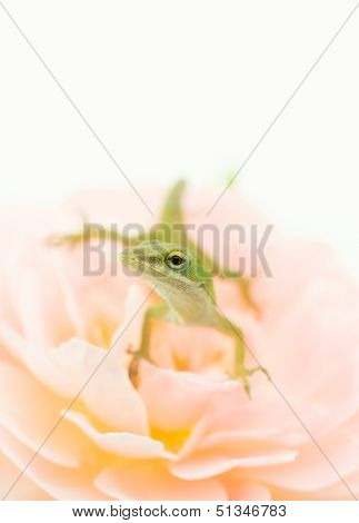 Small Lizard On Rose Flower