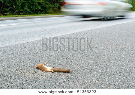 Squirrel Roadkill