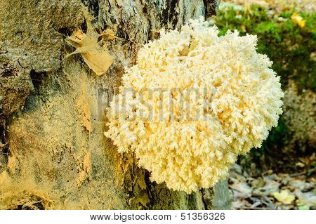 Hericium coralloides also known as Combs Tooth Fungi (formerly called Hericium ramosum) poster