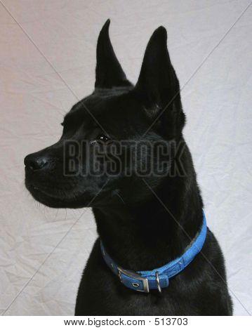 Black Mixed Breed Dog Profile