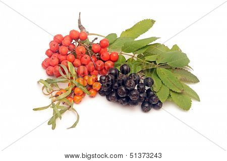 buck thorn, ash berry and chokeberry with leaves on a white background.