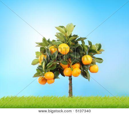 home orange tree