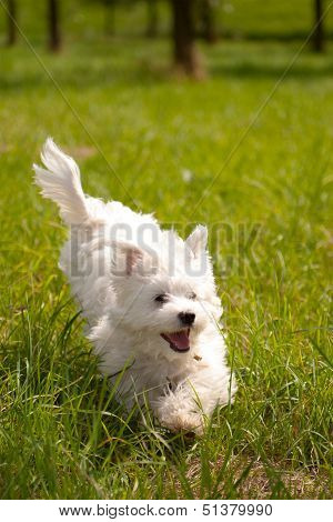 poster of a maltese running outside on grass, on a sunny day