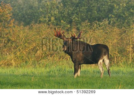 Moose Bull With Big Antlers