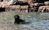 Black dog in the cool sea - close up poster
