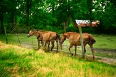 Three horses grazing on an old farm with an antique barn in the background. poster