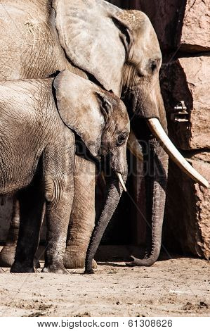 African Elephants with their trunks in a zoo poster