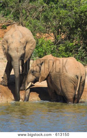 Elephant Pair drinking at the waterhole poster