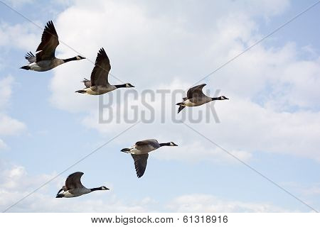 Canadian Geese In Formation