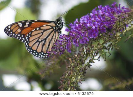 Monarch Danaus Plexippus Butterfly