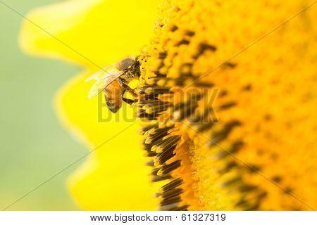 Close-up Bee on sunflower