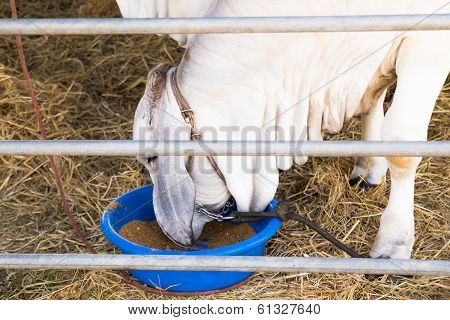 A beef cattle breeders in a stable