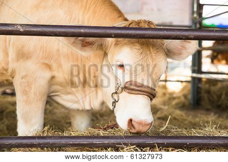 Beef cattle breeders in a stable