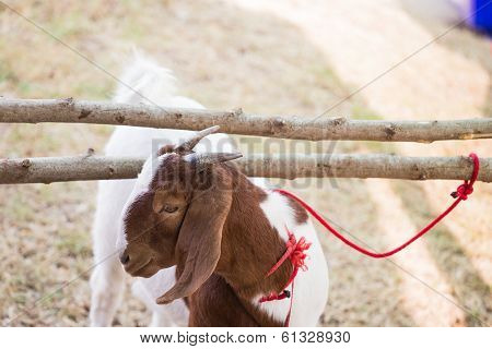 Goat Tied