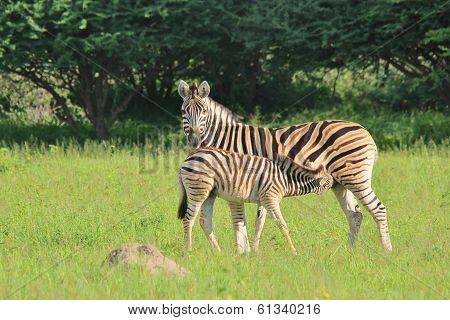 Zebra - Wildlife Background from Africa - Baby Animals and Moms