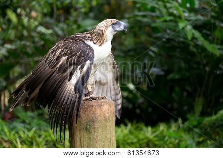 The Filipino eagle (Pithecophaga jefferyi) is a very rare and endangered species living in the Davao province in Philippines.